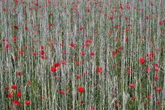 Tusentalsvallmo i kornfält arkivbild