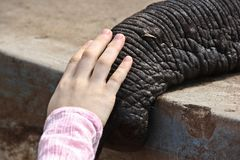 Tusk of indian elefant in the camp Stock Photography