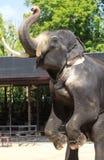 tusked的大象 免版税图库摄影