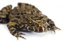 Tusked青蛙特写镜头 免版税库存图片
