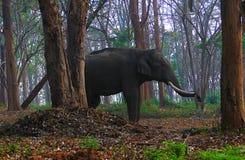 Tusked Indiańskiego słonia pozycja wśród drzew w Dzikim lesie - Nilgiri biosfery rezerwa, India Zdjęcie Stock