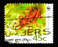 Tusked Weta (Anostostoma sp ),濒于灭绝的物种serie,大约1 免版税库存图片