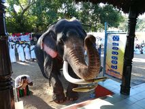 tusker Photo stock