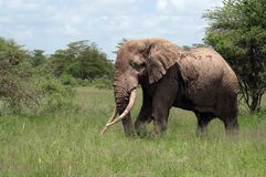 Tusker. A big tusker crossing our track royalty free stock photos