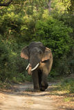 Tusker Stock Photo