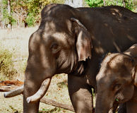 Tusker avec l'éléphant de bébé Photographie stock