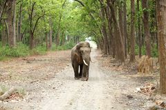A tusker in beautiful forest of Jim Corbett Royalty Free Stock Photo