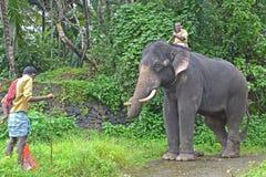 Tusker captif d'éléphant Photographie stock libre de droits