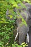 Tusker d'Elehant images libres de droits