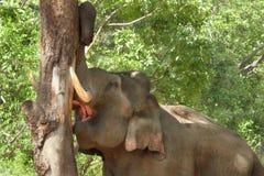 Tusker, das einen Baum ausschifft Stockfotografie