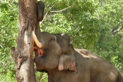 Tusker debarking a tree Stock Photography