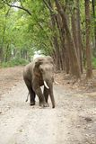 Tusker in Dhikala, Jim Corbett Royalty Free Stock Images