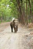 Tusker in Dhikala, Jim Corbett Royalty Free Stock Image