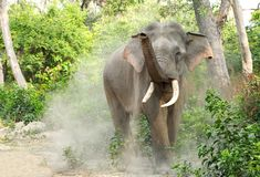 A tusker dusting, Jhirna forest, Jim Corbett Stock Image