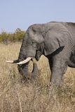 Tusker eating Royalty Free Stock Photography