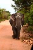 Tusker elefant Fotografering för Bildbyråer
