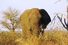 Tusker Royalty Free Stock Images