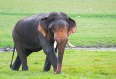 Tusker en parc national de Minneriya image stock