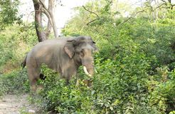 A tusker entering the jungle of Jhirna forest Stock Photo