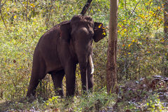 Tusker in Forest Royalty Free Stock Photos