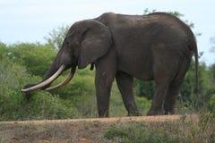Tusker grande Immagine Stock Libera da Diritti