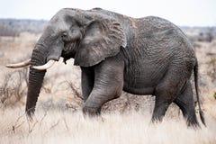 Tusker grande en el movimiento imagen de archivo