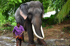 Tusker with his mahout Stock Image