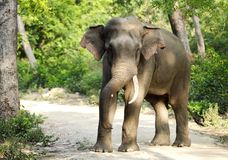 Tusker in Jhirna forest of Jim Corbett Stock Image