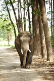 A tusker on the jungle road Royalty Free Stock Photography