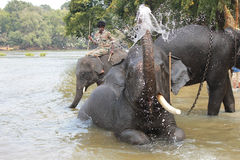 The Tusker royalty free stock image