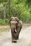 Tusker moving on the dirt track of Dhikala Jungle Royalty Free Stock Photos