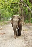 A tusker moving on the mud road of Dhikala forest Royalty Free Stock Images