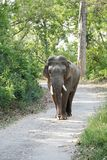 Tusker moving on the road of Dhikala forest Royalty Free Stock Photography