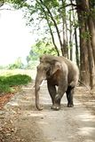Tusker in musth Stock Images
