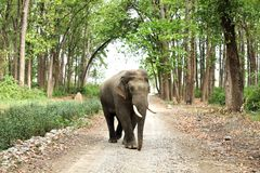 Tusker in musth moving in the forest Royalty Free Stock Photo