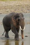 Tusker no rio Fotos de Stock