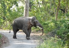 Tusker in the road of Jim Corbett Stock Photography