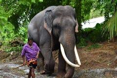 Tusker Sri Lanka. This picture is taken in Attidiya Sri Lanka 2017. This is Buruma Raja also known as Kalu atha with his mahout Sunil.  Tusker Belongs to Sri Royalty Free Stock Photography