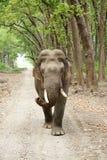 Tusker zbliża się blisko do safari dżipa Obrazy Stock