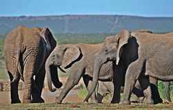 Tuskless Elephant Cows. African elephant, and particularly so the cows can be born 'tuskless'. This is a genetic factor and in South Africa's Addo Elephant Stock Image