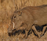 Tusks. Warthog in South Africa showing huge tusks Stock Images