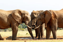 Tusks - African Bush Elephant. Tusks - The African bush elephant is the larger of the two species of African elephant. Both it and the African forest elephant royalty free stock image