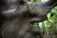The tusks and trunk and open mouth of the Asian elephant. Very close. Unusual point of shooting. Indonesia. Sumatra. An excellent illustration royalty free stock image