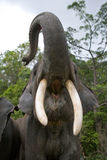 The tusks and trunk and open mouth of the Asian elephant. Very close. Unusual point of shooting. Indonesia. Sumatra. Stock Images