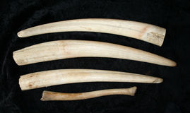 Tusks of walrus Stock Photo