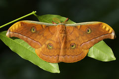 Tussar silk moth Royalty Free Stock Photos