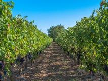 Tussen de Franse wijnstokken stock afbeeldingen