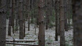 Tussen oude bomen op de avond van de tovercastwinter stock videobeelden