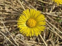 Tussilà ¡ iść kwiaty Zdjęcie Stock