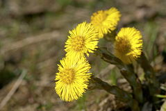 Tussilago Royalty Free Stock Photography
